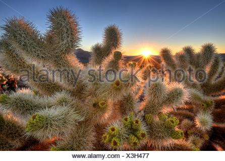 USA, California, Joshua Tree National Park, Chollas Garden at Sunrise - Stock Photo