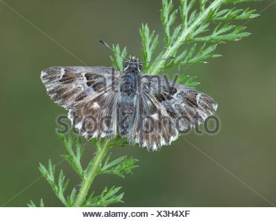 Tufted Marbled Skipper (Carcharodus flocciferus) adult female, resting on vegetation, Cannobina Valley, Italian Alps, Piedmont, - Stock Photo