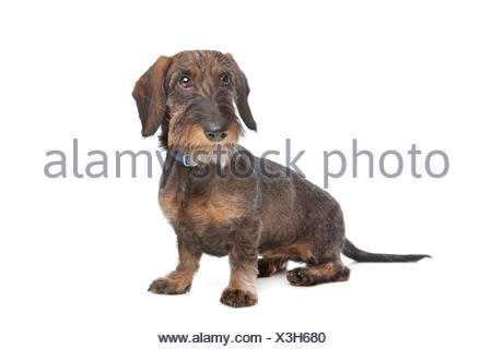 Wire-haired dachshund - Stock Photo