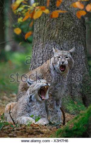Eurasian lynx (Lynx lynx), Couple, Europe - Stock Photo