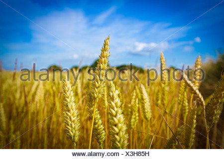 Close up of wheat stalks growing in field - Stock Photo