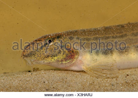 Portrait of a spined loach on sand - Stock Photo