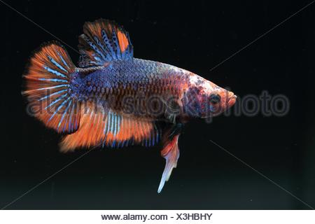 (Betta splendens), male fighter onblack background .Mâle short tail called plakat. fancy variety - Stock Photo