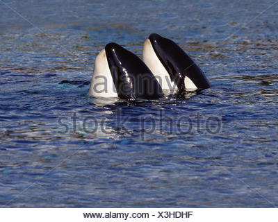 Killer whales,Orcinus orca,sea,water surface,Canada, - Stock Photo