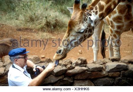 Rothschild s Giraffe being fed by a male white tourist at Giraffe Manor Nairobi Kenya East Africa - Stock Photo