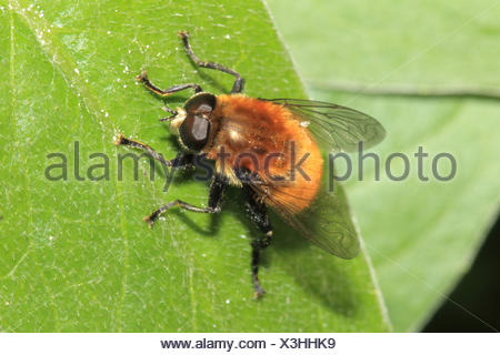 Yellow-hairy Hummelschwebfliege, leaves, medium close-up, landscape format, animal, wild animal, Hummelschwebfliege, fly, insect, - Stock Photo
