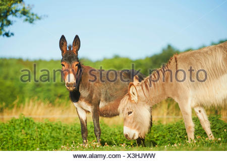 Domestic donkey (Equus asinus asinus), two donkeys standing together in a meadow, Germany - Stock Photo