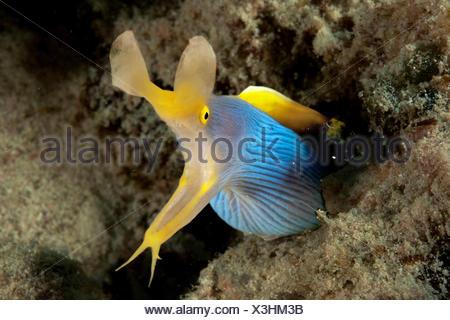 female ribbon eel, Mauritius, Africa, Indian Ocean / (Rhinomuraena quaesita) - Stock Photo