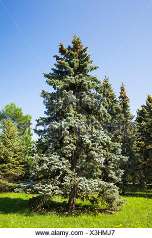 Picea pungens 'Bakeri - Colorado Spruce tree in spring - Stock Photo