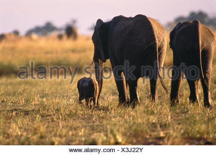 Elephants with Calf Savuti Region, near Chobe Botswana, Africa - Stock Photo
