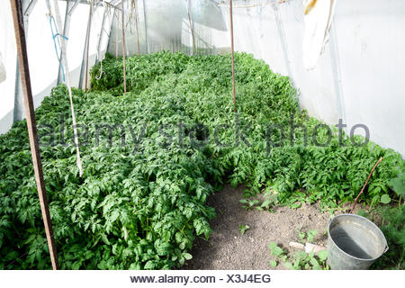 Seedlings of tomato. Growing tomatoes in the greenhouse. Seedlin - Stock Photo