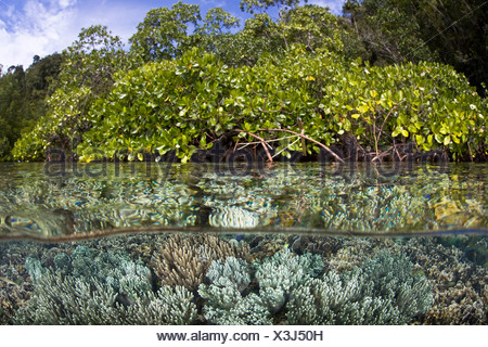 Leather Soft Corals in Mangrove Forest, Sarcophyton sp., Raja Ampat, West Papua, Indonesia - Stock Photo