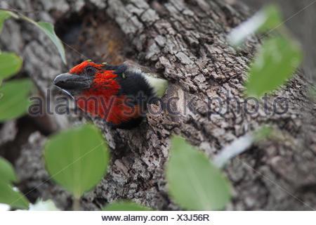 Black-collared barbet, Lybius torquatus, peeking out of its nest. - Stock Photo