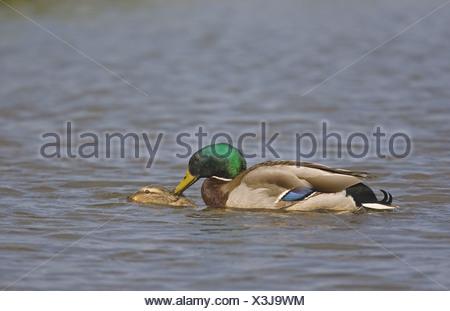 Mallard Duck (Anas platyrhynchos) adult pair, mating in water, Norfolk, England - Stock Photo