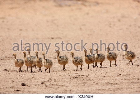 Twelve Ostrich chicks, Kgalagadi Transfrontier Park, Northern Cape Province, South Africa - Stock Photo