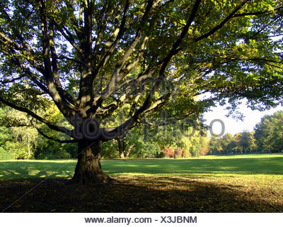 Baum im Park / tree - Stock Photo
