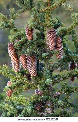 Spruce (Picea abies), Pillersattel, Tyrol, Austria, Europe - Stock Photo