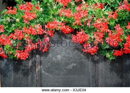 Window box containing red pelargoniums - Stock Photo