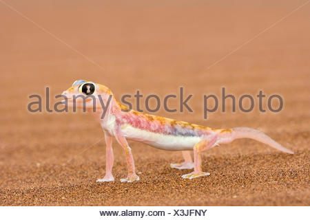 Web-footed Gecko (Palmatogecko rangei) on sand Webbed feet aid running over fine sand. Namib Desert - Stock Photo