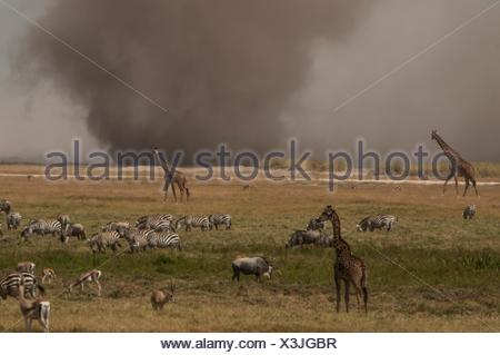 Zebras and giraffes grazing while dust storm on plain horizon, Masai Mara, Kenya - Stock Photo