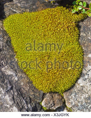 moss cushions in rock crevices, Austria, Tyrol, Lechtaler Alpen - Stock Photo
