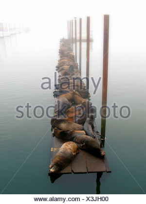 Sealions resting on a timber jetty in the mist - Stock Photo