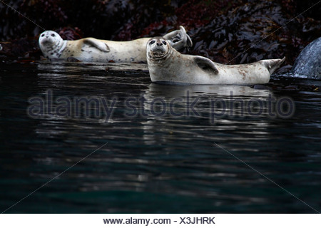 Harbour Seals Phoca vitulina - Stock Photo