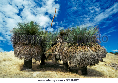 A stand of mature Grass Trees on a hillside with a flowering stalk. - Stock Photo