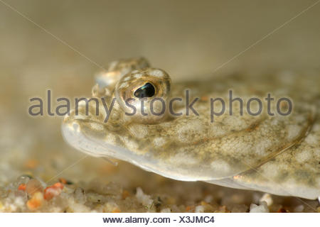 Plaice - Pleuronectes platessa - Stock Photo