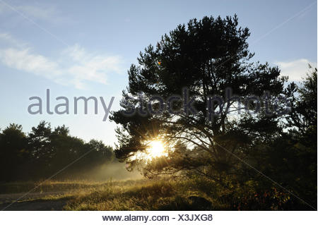 Scenery, Scots pine, Pinus sylvestris, morning fog, Upper Palatinate, Germany, - Stock Photo