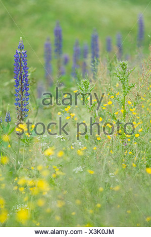 Large-leaved lupine (Lupinus polyphyllus), tall buttercup (Ranunculus acris), Fehndorf, Emsland, Lower Saxony - Stock Photo