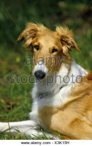 Borzoi or Russian Wolfhound, Portrait of Dog - Stock Photo