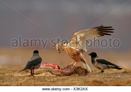 Marsh Harrier (Circus aeruginosus), male, and Hooded Crows (Corvus corone cornix) with the carcass of a deer - Stock Photo
