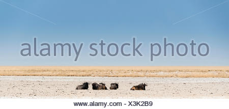 Blue Wildebeest (Connochaetes taurinus) lying in the midday heat, dried out waterhole at the edge of the Etosha Pan