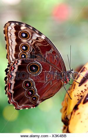 Caligo Idomeneus; American Butterfly Butterfly Garden in Benalmadena Malaga Andalucia Spain Europe; - Stock Photo