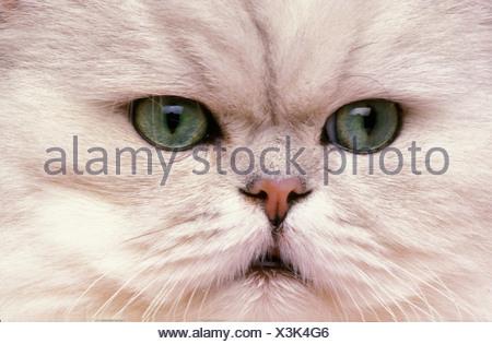 Persian Chinchilla Cat Close-up Animal Animals White Green Eyes Face Portrait Pet Breed - Stock Photo