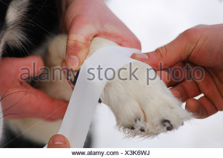 Musher taping husky paw, tape bandage - Stock Photo