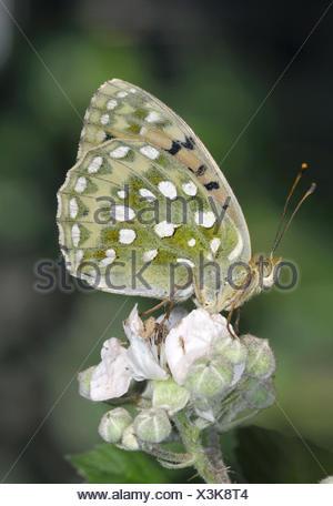 Dark Green Fritillary - Argynnis aglaja - Stock Photo