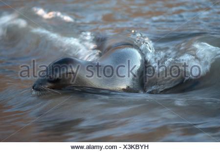 Galapagos fur seal (Arctocephalus galapagoensis), swimming, Ecuador, Galapagos Islands, Floreana, Punta Cormoran - Stock Photo