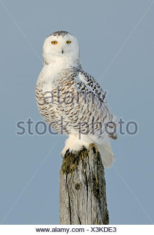 Snowy owl (Bubo scandiaca) perched on post, Canada. - Stock Photo