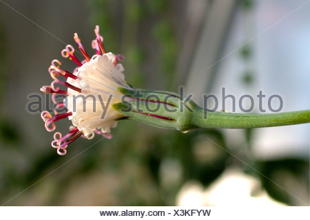 Gooseberry, String of Beads, String-of-Pearls. String-of-Marbles, String-of-Peas (Senecio rowleyanus), blooming - Stock Photo