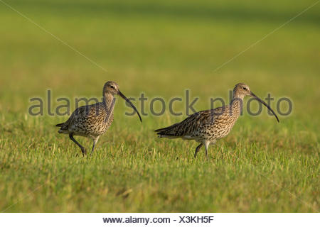 western curlew (Numenius arquata), on the feed in a mowed meadow, Germany, Bavaria - Stock Photo