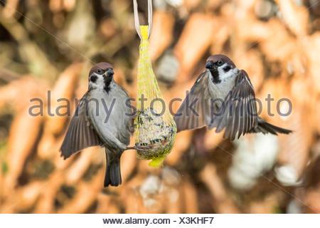 Feldsperling, Feldspatz (Passer montanus), landen auf einem Meisenknoedel, Deutschland, Bayern, Niederbayern | Eurasian tree spa - Stock Photo