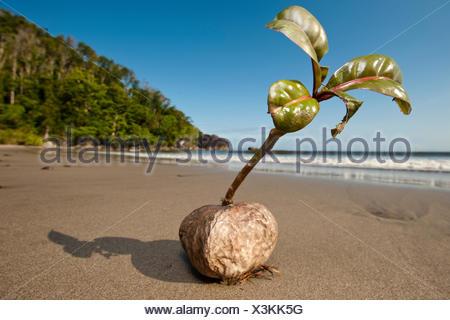 Germinating seed / seedling of Barringtonia sp.  Washed up on beach. Masoala Peninsula, Masoala National Park, Madagascar. - Stock Photo