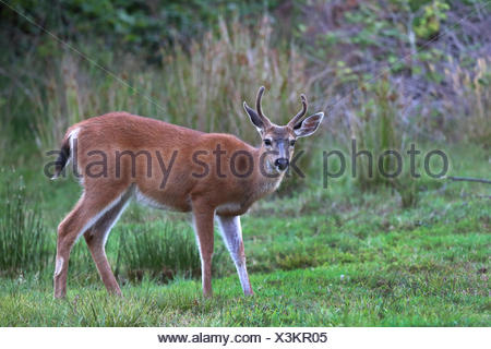 mule deer, black-tailed deer (Odocoileus hemionus), male stands in a meadow, Canada, British Columbia, Vancouver Island - Stock Photo