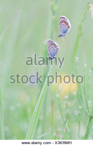 Common Blue (Polyommatus icarus) two butterflies perched on a blade of grass - Stock Photo
