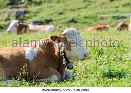 Herd of Hereford breed cows lying on sunshine Alpine pastureland - Stock Photo
