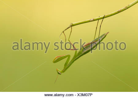 Mantis insect hanging head down. Montevecchia, Lecco, lombardy, Italy,Europe - Stock Photo