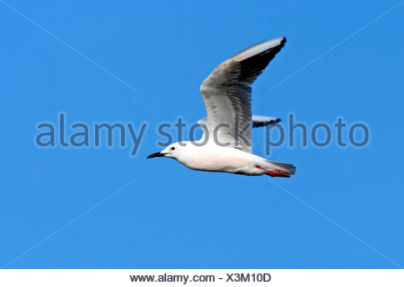 slender-billed gull (Larus genei), flying, Europe - Stock Photo