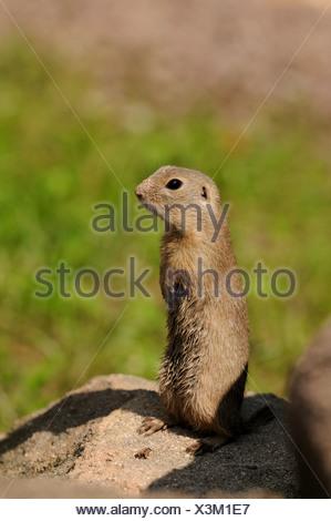 European ground squirrel, European suslik, European souslik (Citellus citellus, Spermophilus citellus), standing errected on a soil hill - Stock Photo